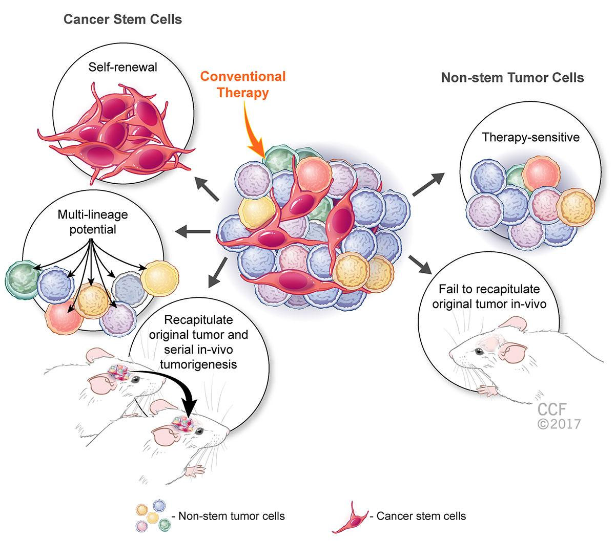 Lau School Of Pharmacy Targeting Cancer Stem Cell